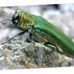 Kansas City Hit by Emerald Ash Borer