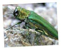 emerald ash borer kansas city