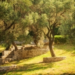 Olive trees. Mediterranean garden in the morning